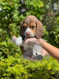 Beagle a pronto entrega com garantia de saúde em contrato (11)9.7796.1054