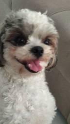 Cachorro shihtzu