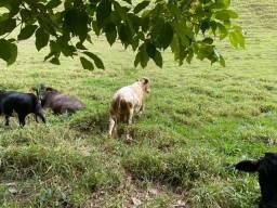 Mini bovinos