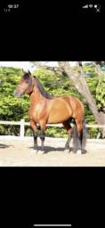 Vendo cavalo piquira
