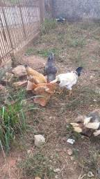 Casal de galinha caipura