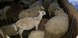 Vendo ovelha e cabritas