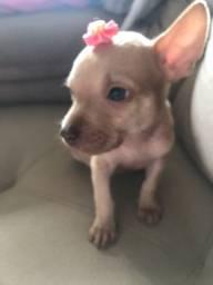 Chihuahuaf êmea dos olhos azuis ganhei ela