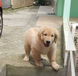 Cachorro Golden Retriever