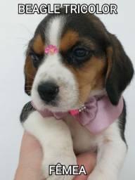Beagle Lindas Fêmeas hoje