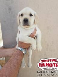 Labrador todas cores padrão CBKC, oferecemos suporte vet. exclusivo em todo Brasil!