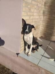 Cadela pitbull com 6 meses a venda