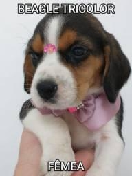 Beagle lindissima com procedência