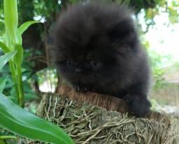 Gato Persa Machinhos