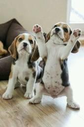 Beagle de Procedência