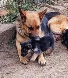 Filhote fêmea de pastor capa preta