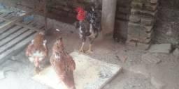 2 casais de galinhas rodilan
