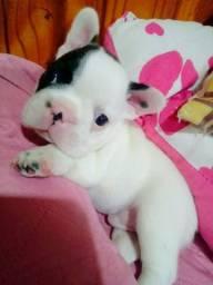 Perfeito bebê Bulldog francês 12x no cartão