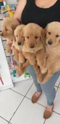 Goldem Retriever lindos filhotes com garantias!!!