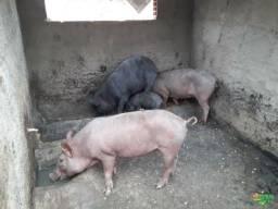 Vendo 3 porcos e uma leitoa
