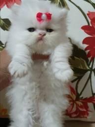 Filhote de gata persa femea branca pura.Entrego em Joinville Itajai,Floripa