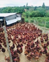 Vende-se galinhas EMBRAPA 051