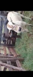 Vaca, Novilha , Garrote