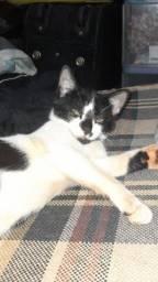 Gato preto e branco filhote