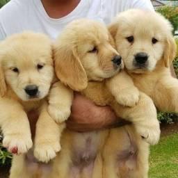 filhotes de golden retriever com pedigree