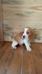 Beagles  com pedigree bicolor