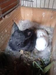 2 filhotinhos de coelho da raça Netherland