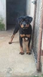 Rottweiler fêmea com pedigree