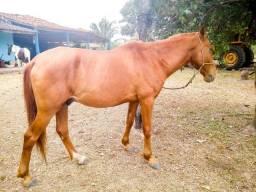 Cavalo pronto