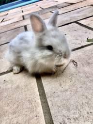 Filhotinhos de Mini Lion - Mini coelho