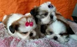 Shih tzu filhotes puros 027997478063