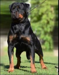 Rottweiler padrão da raça e aqui