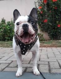 Bulldog Francês com pedigree