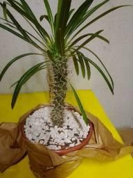 Cactos Palmeira de Madagascar