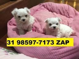 Canil Filhotes Cães Perfeitos BH Maltês Yorkshire Basset Lhasa Poodle Beagle