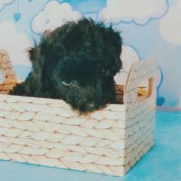 Filhote de poodle mini macho preto