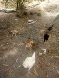 Lindas frangas e galinhas carioca raça body e outras'.