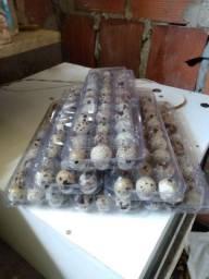 Ovos de codorna galados e pintos