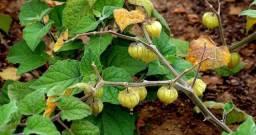 20 Sementes de Physalis (Fisális) Exóticas e Orgânicas