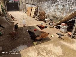 Galo e galinha caipira.