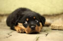 Rottweiler com valor especial