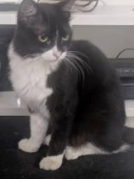 Doa se lindo gato grande e peludo