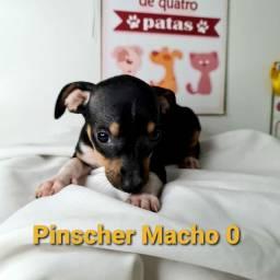 Pinscher venha hoje