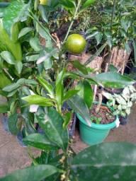 Frutíferas (Preço Imperdível)