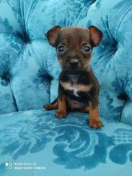 Lindo Pinscher machinho