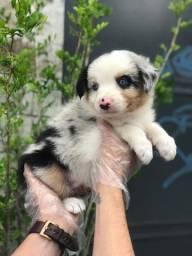 BorderCollie blue merle/redmerle/preto e branco/chocolate, temos suporte veterinário