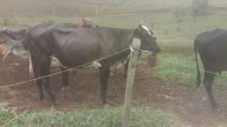 Vaca e novilha