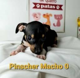 Pinscher e várias outras raças disponíveis