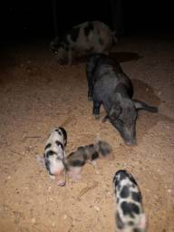 Mini porco . Leia descrição
