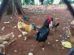 Vende-se frangos em Ribeirão Preto-SP