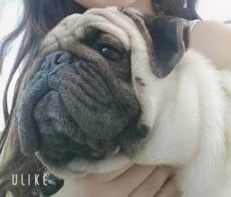 Vende-se este cachorro macho pug, com 1 ano e meio de vida.